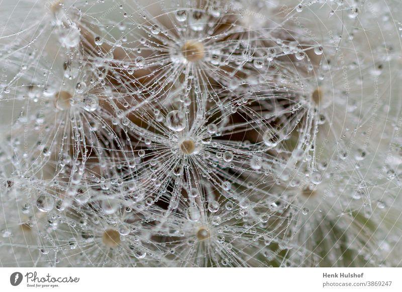Nahaufnahme von Löwenzahnflaum Allergie Hintergrund schön Schönheit Blüte Schlag Bokeh Hintergrund Botanik Windstille abschließen Blume in Nahaufnahme filigran