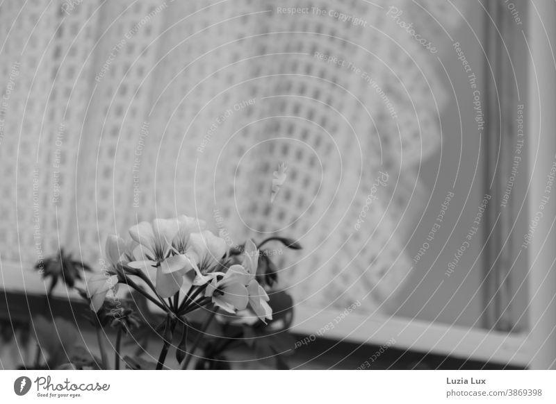 Herbstblüten vor dem Fenster, schwarzweiß Blüten Begonien Gardine schräg Schwarzweißfoto Herbstblume Menschenleer Vorhang Licht Häusliches Leben
