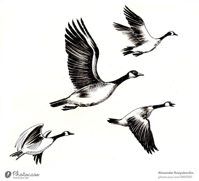 Fliegende Gänse Vögel. Schwarzweiß-Tuschezeichnung Hausgans Vogel fliegen Tiere Natur Kunst Kunstwerk Hintergrund Zeichnung Grafik u. Illustration Skizze