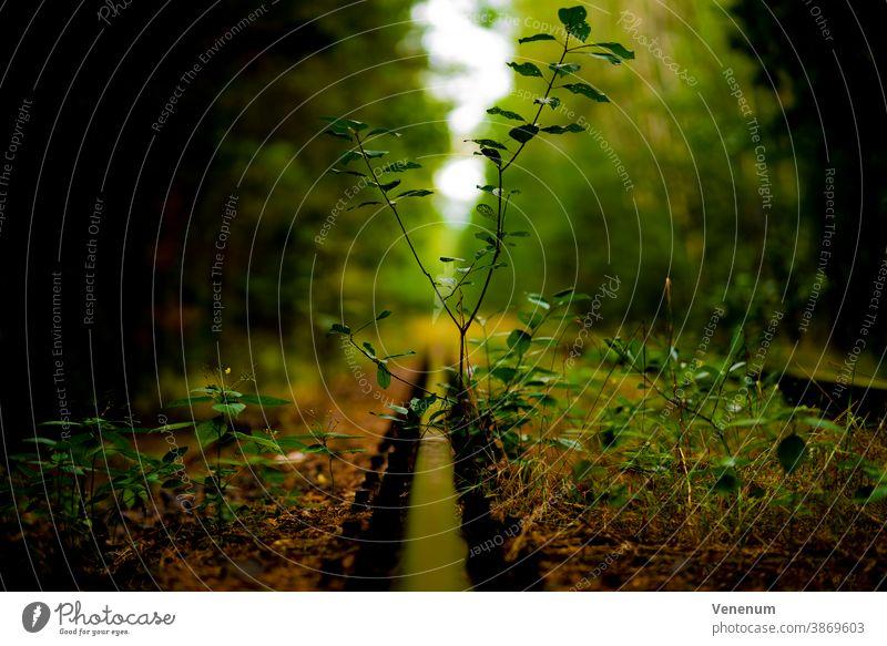 Wildpflanzen in einem alten stillgelegten Gleisbett Bahn Schienen Eisenbahn bügeln Rust Eisenbahnschwellen Wald Wälder Baum Bäume