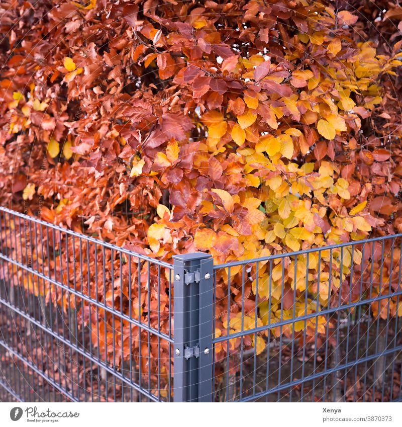 Ecke der Hecke Zaun bunt Herbst Herbstfarben Garten Außenaufnahme Natur Menschenleer herbstlich Pflanze Herbstlaub Buchenhecke Jahreszeiten Umwelt