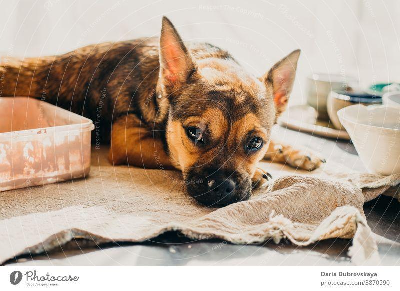 Kleiner brauner Hund liegt auf dem Tisch Stammbaum züchten Porträt Eckzahn Reinrassig lustig Säugetier niedlich jung wenig Tier Hintergrund Welpe Haustier