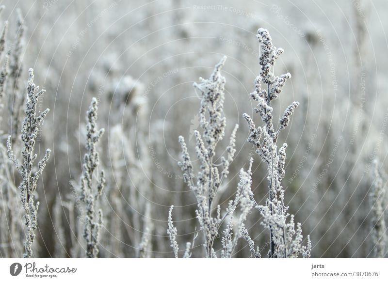 Winterweiß Frost Schnee kalt Raureif gefroren Eis frieren Eiskristall Nahaufnahme Kristallstrukturen Natur Außenaufnahme Pflanze Schneekristall Menschenleer