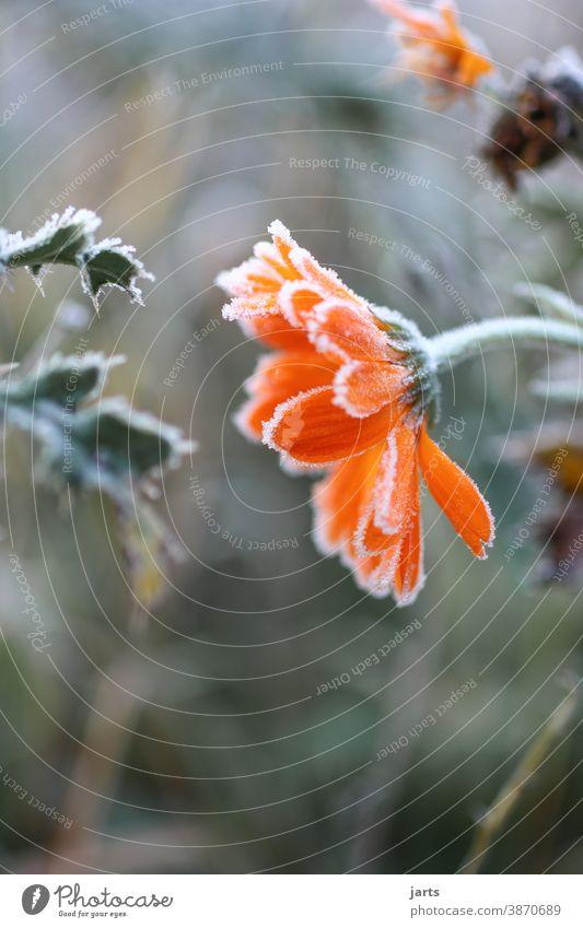 Eisblume Frost kalt Winter Blume gefroren Eiskristall frieren Raureif Natur Nahaufnahme Außenaufnahme Farbfoto Menschenleer