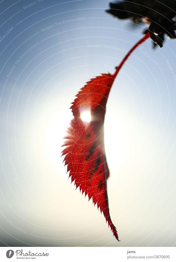 das letzte Blatt am Baum Herbst Winter rot licht Sonne Sonnelicht Natur Ast Außenaufnahme Himmel Loch Zweig Wald allein happy end