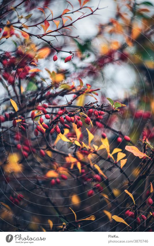 Hagebutten im Farbenspiel mit dem Herbstlaub Pflanze Natur Gebüsch Sträucher Äste und Zweige Ast rot Frucht gelb herbstlich Herbststimmung Umwelt regional