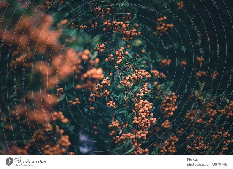 Großer Feuerdorn Strauch Pflanze Natur Gebüsch Sträucher Äste und Zweige Ast Frucht gelb Herbst herbstlich Herbststimmung Umwelt regional Zweige u. Äste