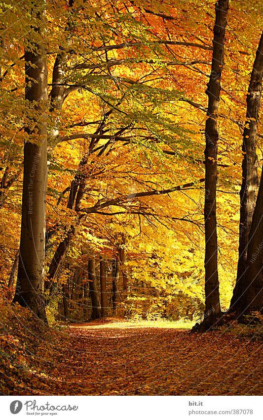 Waldweg Natur Ferien & Urlaub & Reisen Pflanze Baum Erholung Landschaft ruhig Blatt Wald gelb Umwelt Wärme Herbst gold Tourismus wandern