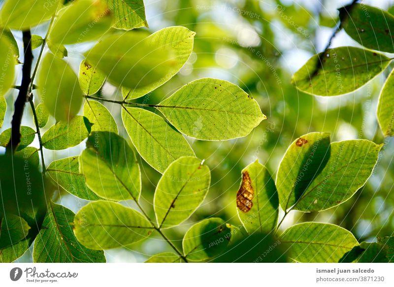 grüne Baumblätter im Herbstsaison, grüner Hintergrund Niederlassungen Blätter Blatt Natur natürlich Laubwerk Saison texturiert im Freien Schönheit