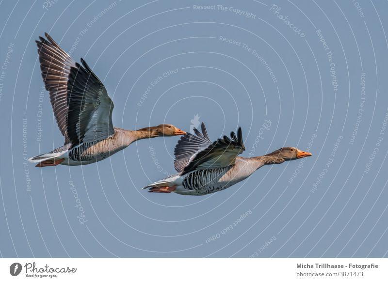 Fliegende Graugänse Wildgänse Anser anser Gänse Kopf Schnabel Auge Hals Federn Gefieder Flügel Beine Flügelschlag Spannweite fliegen Flug Himmel Sonnenschein
