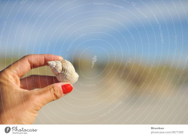 Strandgut Muschel Sand Wasser Sommer Natur Farbfoto Küste Nordsee Menschenleer Ferien & Urlaub & Reisen Außenaufnahme ruhig Nahaufnahme Hand Muschelform