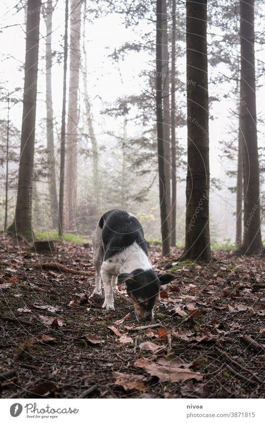 Jack Russell Terrier schnüffelt im Wald Jack-Russell-Terrier männchen machen Hund Tier Haustier klein niedlich Reinrassig braun Außenaufnahme gehorsam