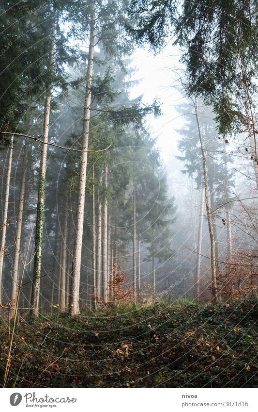 Herbstwald Wald herbstlich Nebel Tannenbaum Licht Herbstlaub Herbstfärbung Natur Baum Außenaufnahme Farbfoto Pflanze Menschenleer Landschaft Umwelt Tag