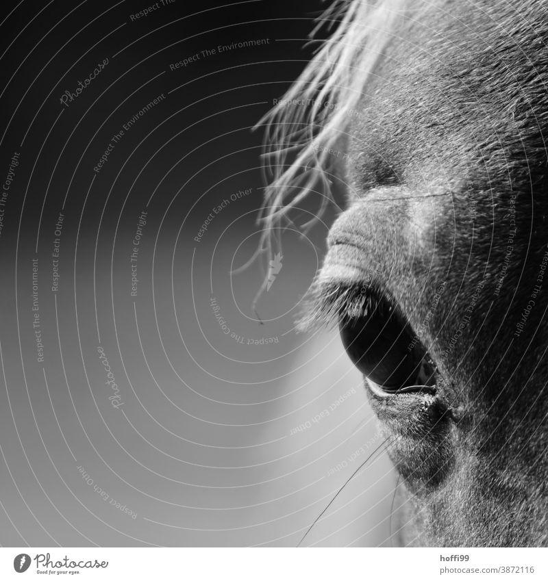 das Auge des Pferdes Pferdekopf Pferdehaar Pferderücken Porträt Pferdeportrait Tierporträt Tiergesicht Ponys Nutztier