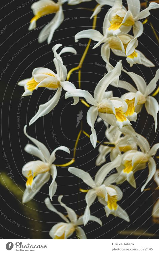 Kleine weiße zarte Blüten einer Orchidee auf schwarzem Hintergrund Orchideen Blume Blühend Pflanze exotisch schön elegant Nahaufnahme Wellness Spa