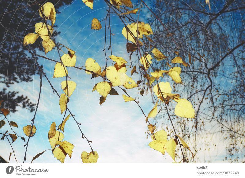 Goldregen Natur Außenaufnahme hängen Zweige Blätter Birke Baum Farbfoto Menschenleer Tag Pflanze Umwelt Sonnenlicht Schönes Wetter Wald Wachstum