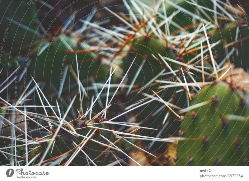 Spitzfindig Kaktus Stacheln spitz stachelig Detailaufnahme Schwache Tiefenschärfe Kontrast Pflanze grün Farbfoto Menschenleer Natur Nahaufnahme exotisch