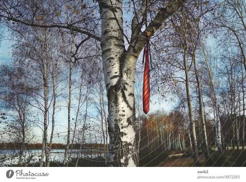 Krawattenzwang Baum Birke oben Zweige Äste hängen rätselhaft unklar Landschaft See Lausitz Wolkenloser Himmel Zweige u. Äste Menschenleer Außenaufnahme Natur