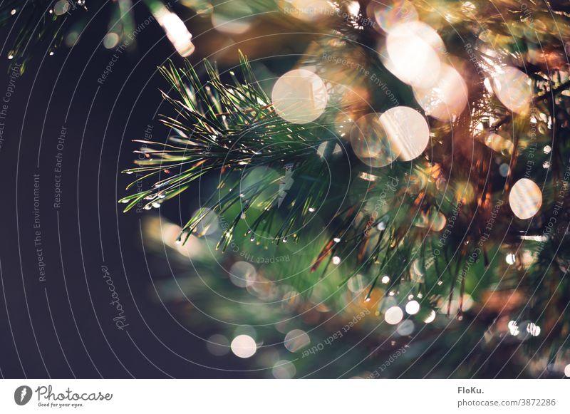 Nasser Nadelbaum Nadeln Baum Natur Pflanze Blätter Tanne Tannenbaum Umwelt Nahaufnahme schwache Tiefenschärfe grün Farbfoto Außenaufnahme Menschenleer