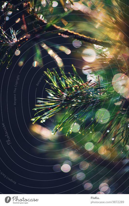 Tannennadeln mit Morgentau Nadelbaum Nadeln Baum Natur Pflanze Blätter Tannenbaum Umwelt Nahaufnahme schwache Tiefenschärfe grün Farbfoto Außenaufnahme