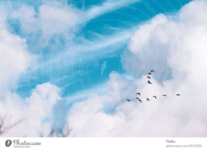 Gänse fliegen in den Süden Vogel Vögel Herbst Zugvögel Wolken Himmel schönes Wetter Formationsflug vogelschwarm Vogelflug gen Süden tiere Zugvogel Vogelschwarm