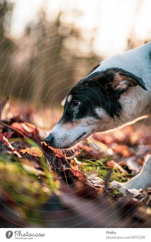 Hund schnüffelt am Waldboden Tier Schnauze Nase riechen Boden Herbst Herbstlaub Haustier Fell Nahaufnahme Säugetier Farbfoto Detailaufnahme Tierporträt