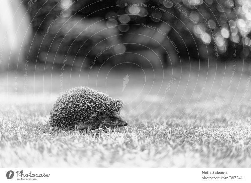 Igel, (Wissenschaftlicher Name: Erinaceus europaeus) Wilder, einheimischer, europäischer Igel in natürlichem Gartenhabitat Tier Hintergrund Nahaufnahme niedlich