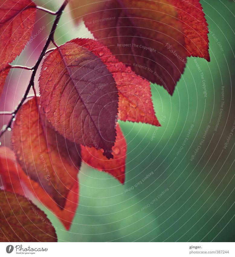 Ein Hauch von Herbst im Frühling Umwelt Natur Pflanze Sommer Schönes Wetter Sträucher Blatt Wachstum feucht nass durchscheinend grün rot gezackt Blattadern