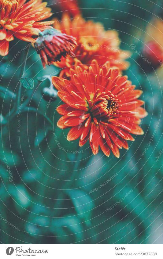Farbkombination I  grün und orange Astern blühende Astern blühende Herbstblumen anders Herbstbeginn Oktober orange Farbe dunkelgrün Garten Herbstfärbung