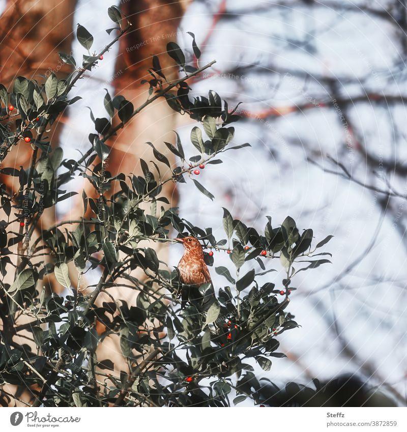 eine Drossel und ihre Drosselbeeren Vogel Vogelbeeren Beeren Beerenstrauch rote Beeren dunkelgrün Zweig Wintervorrat Vorrat Dezember Naturerlebnis niedlich