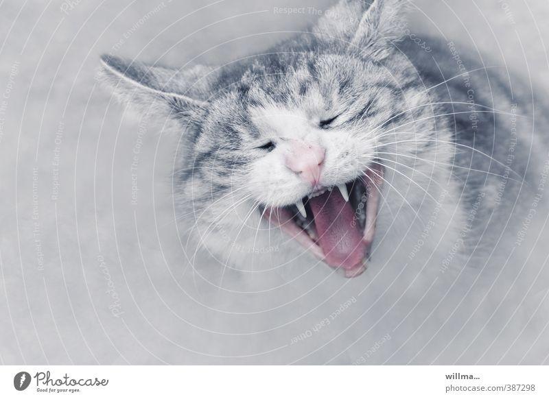 Porträt einer Katze Hauskatze Haustier Tiergesicht grau rosa weiß gähnen fauchen Zähne zeigen Katzenkopf Kratzbürste Langeweile Schnurrhaar Müdigkeit Gebiss