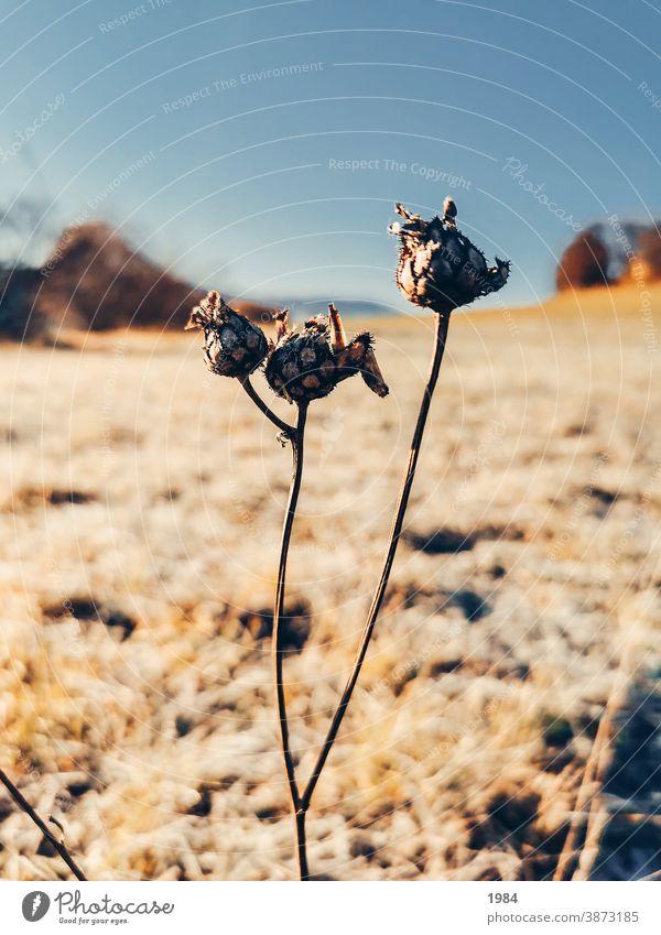 Verblühende Knospen im Spätherbst Landschaft Natur braun beige Ruhe Detailaufnahme Makroaufnahme