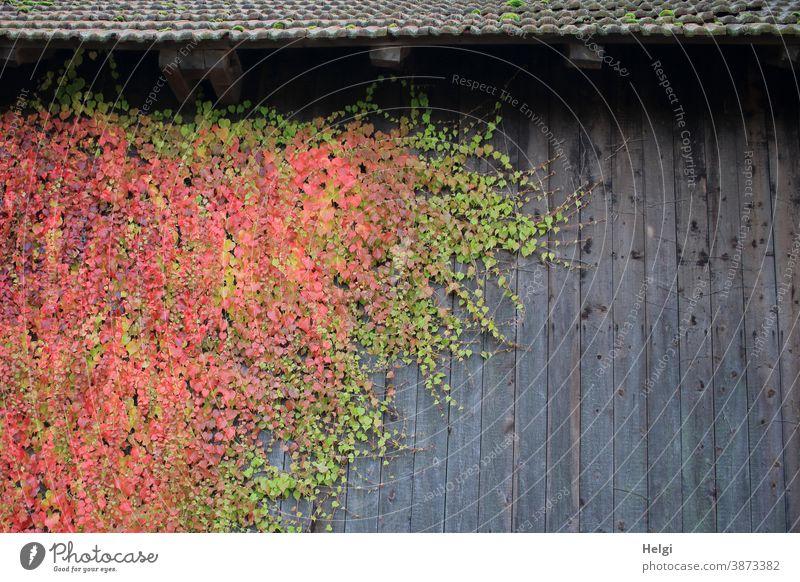 Farbkombination | grün und rot gefärbter wilder Wein an grauer Holzwand Wilder Wein Pflanze Fassade Dach Fassadenbegrünung Herbst Herbstfärbung bunt wachsen