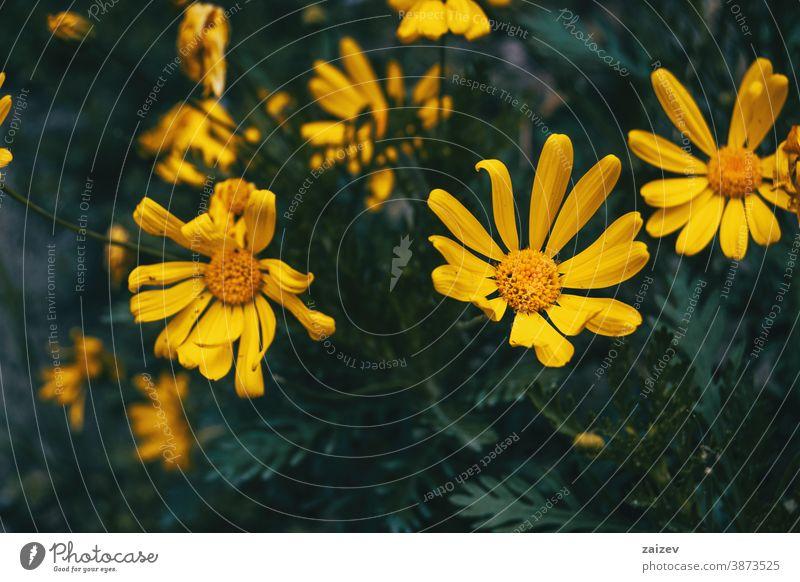 Nahaufnahme einiger gelber Euryopsblüten euryops Natur Vegetation natürlich Blume Blüte geblümt blühte Botanik botanisch Blütenblätter Überstrahlung schließen