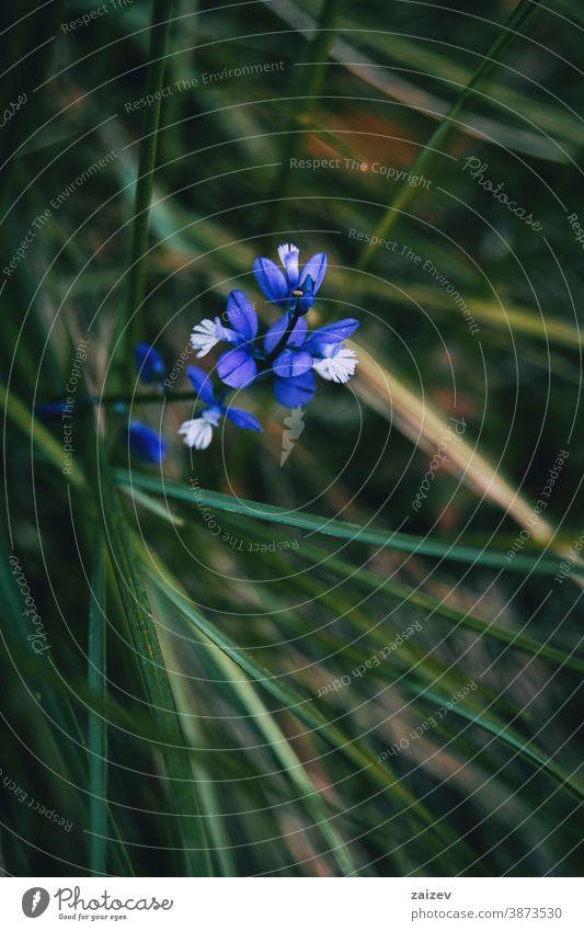 Nahaufnahme eines Straußes kleiner blauer Blüten von Polygala polygala Natur Vegetation natürlich Blume geblümt blühte Botanik botanisch Blütenblätter