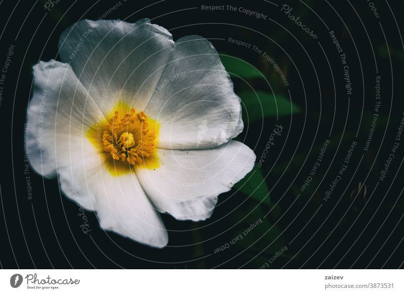 Makro einer weißen Blüte von Cistus salviifolius Natur Vegetation natürlich Blume geblümt blühte Botanik botanisch Blütenblätter Überstrahlung Nahaufnahme