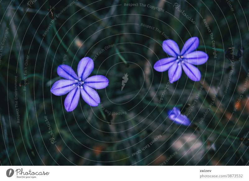 Nahaufnahme von zwei violetten Blüten von aphyllanthes monspeliensis Natur Vegetation natürlich Blume geblümt blühte Botanik botanisch Blütenblätter