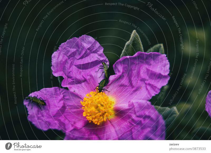 Detail von drei kleinen Insekten auf den Blütenblättern einer violetten Blüte von Cistus albidus Natur Vegetation natürlich Blume geblümt blühte Botanik