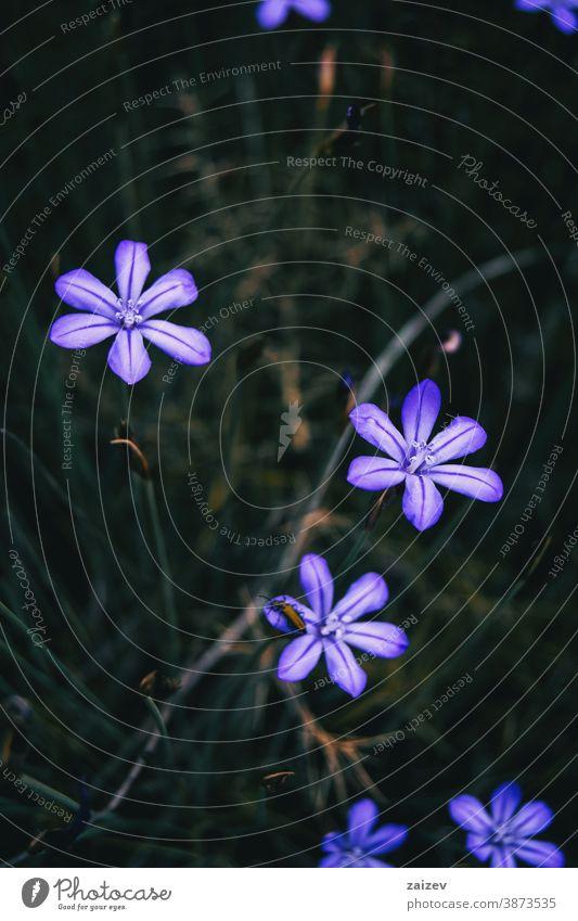 Nahaufnahme einiger violetter Blüten von aphyllanthes monspeliensis mit einem kleinen gelblichen Insekt auf einer von ihnen aphyllanthoideae Natur Vegetation