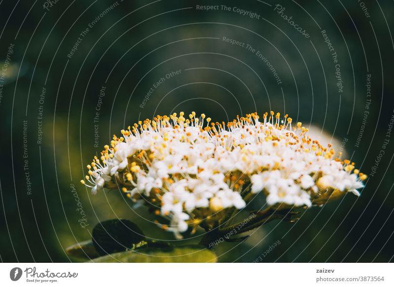 Nahaufnahme eines Straußes kleiner weißer Blüten mit aufgerichteten gelben Staubgefäßen von Viburnum tinus Natur Vegetation natürlich Blume geblümt blühte