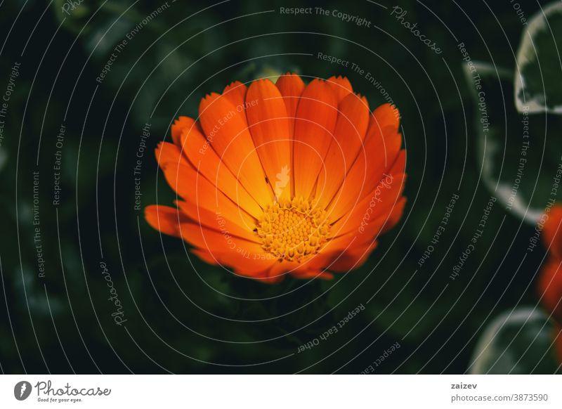 Nahaufnahme einer orangefarbenen Blüte der Ringelblume (Calendula officinalis) Ringelblume officinalis Natur Vegetation natürlich Blume geblümt blühte Botanik