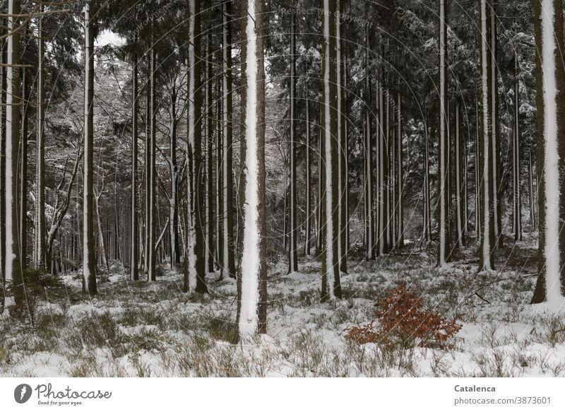 Verschneiter Winterwald Holz Forst kalt Schnee Sträucher Buche Wald Holzwirtschaft Stamm Forstwirtschaft Baum Natur Blaubeerstrauch Fichte verschneit Weiss Grün