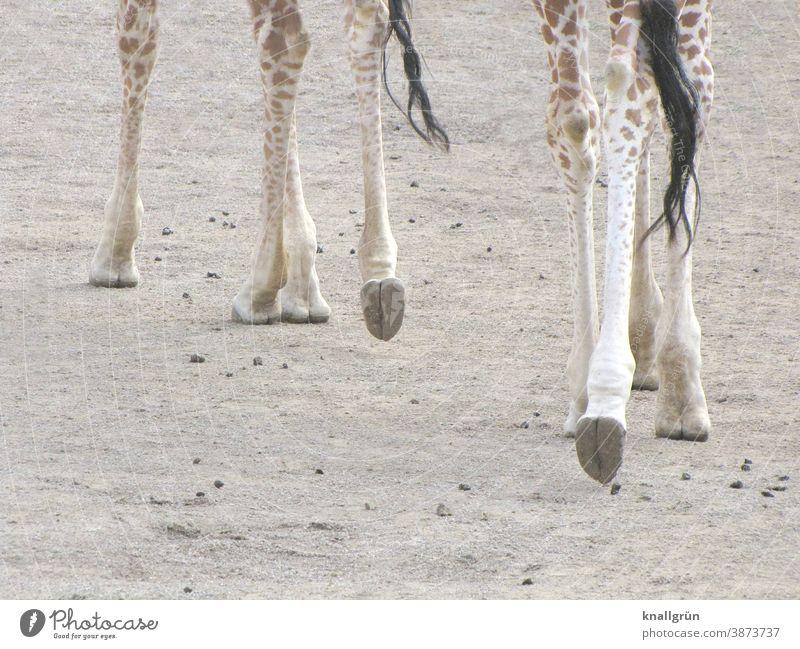 Acht Giraffenbeine Tier Beine 8 Hufe Schweif Schwanzspitze Zoo Afrika Säugetier Safari wild Tierwelt Ferien & Urlaub & Reisen Afrikanisch Außenaufnahme Natur