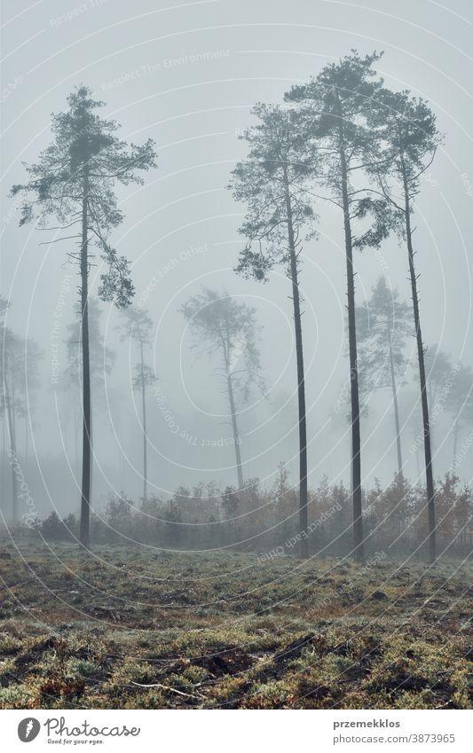 Hohe Bäume in dichtem Nebel. Naturlandschaft Ansicht eines nebligen Waldes in der Herbstsaison Hintergrund Tag halbdunkel Umwelt erkunden grün Landschaft