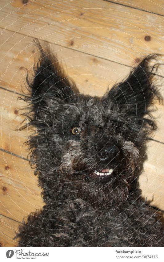 Porträt eines schwarzen Hundes Pumi Haustier Tierporträt Tiergesicht Tierliebe Fell Schnauze Nase Hundeschnauze Hundekopf Haushund Rassehund Hundeblick