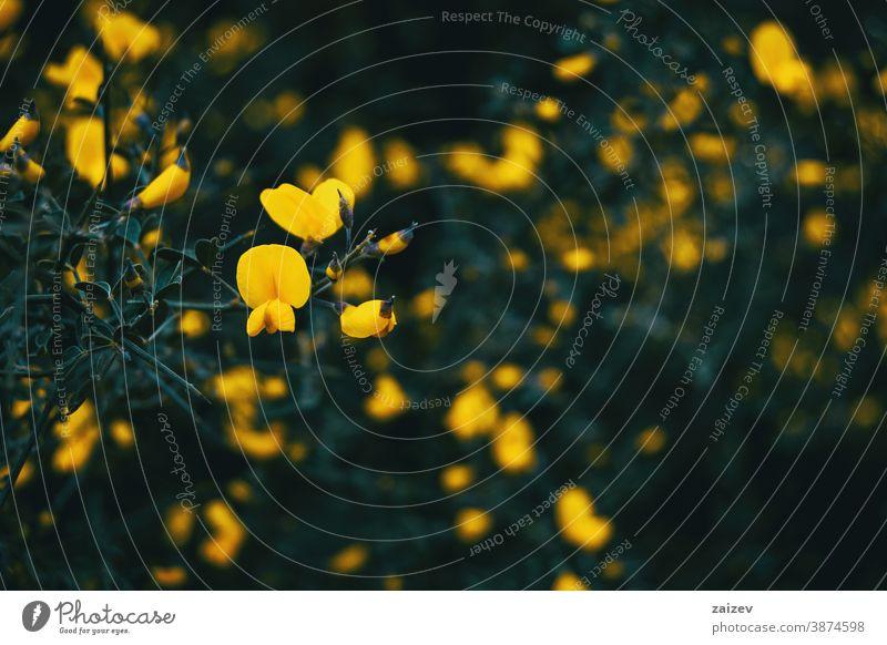 Nahaufnahme einiger gelber Blüten und Knospen von Cytisus scoparius Zytisus scoparius Natur Vegetation natürlich Blume geblümt blühte Botanik botanisch
