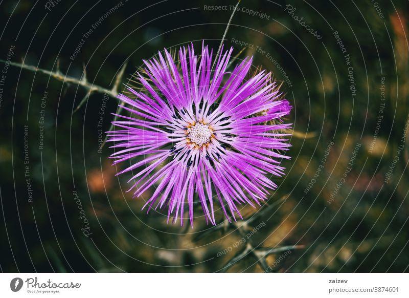 Detail einer isolierten violetten Blüte von Galactites tomentosa Galaktitos tomentosa Natur Vegetation natürlich Blume geblümt blühte Botanik botanisch Pflanze