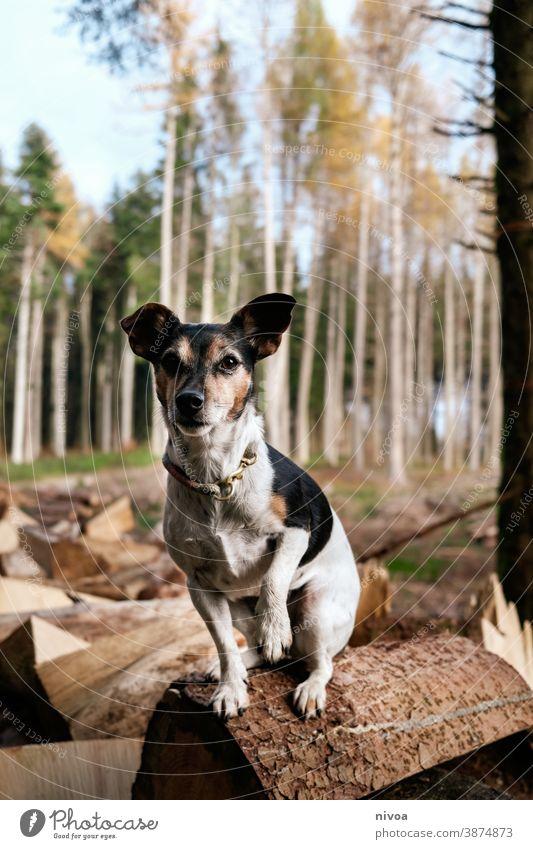 Jack Russel Terrier sitzt auf einem holzscheit im wald Jack-Russell-Terrier jack russell Hund baumstämme sitzen Wald Herbst Halsband Haustier Tier braun