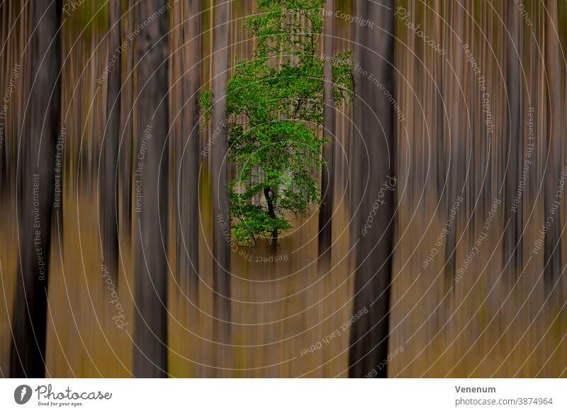 Einzelner Eichenbaum in einem Kiefernwald , nachträglich bearbeitet für surrealen Look Surrealismus Waldstimmung Waldbäume abstrakt abstrakte kunst Abstraktion
