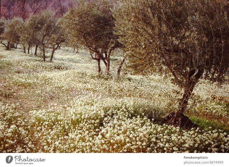 Olivenbäume in blühender Frühlingswiese Blühend Blumenwiese frühlingszeit wachsen baum Bäume olivgrün Traumbild Romantik romantisch schemenhaft